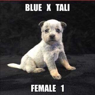 Litter of 7 Australian Cattle Dog puppies for sale in JEFFERSON, SC. ADN-36625 on PuppyFinder.com Gender: Female. Age: 4 Weeks Old
