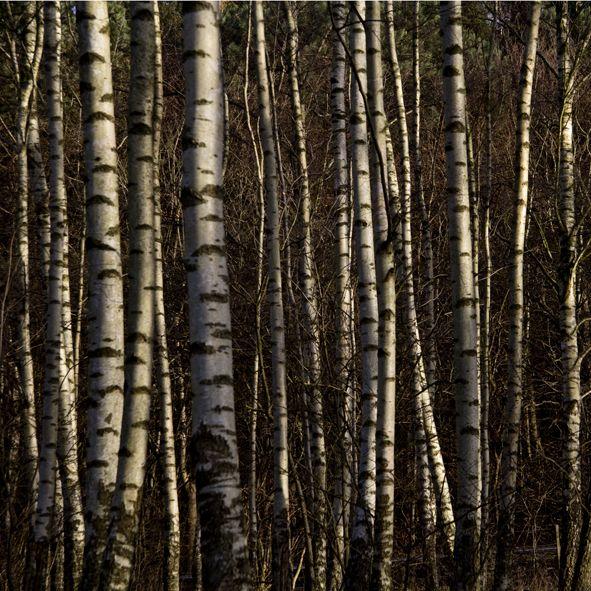 Photo By Tine Bernsen Birch Trees Nordic Fine Art