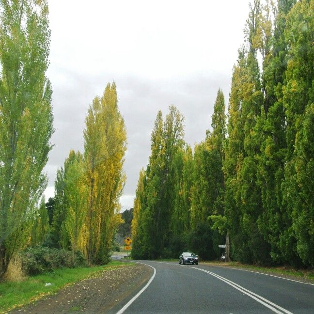 Tree lined roads make me happy, Tasmania