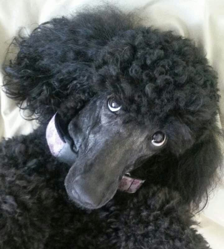25  best ideas about poodle grooming on pinterest