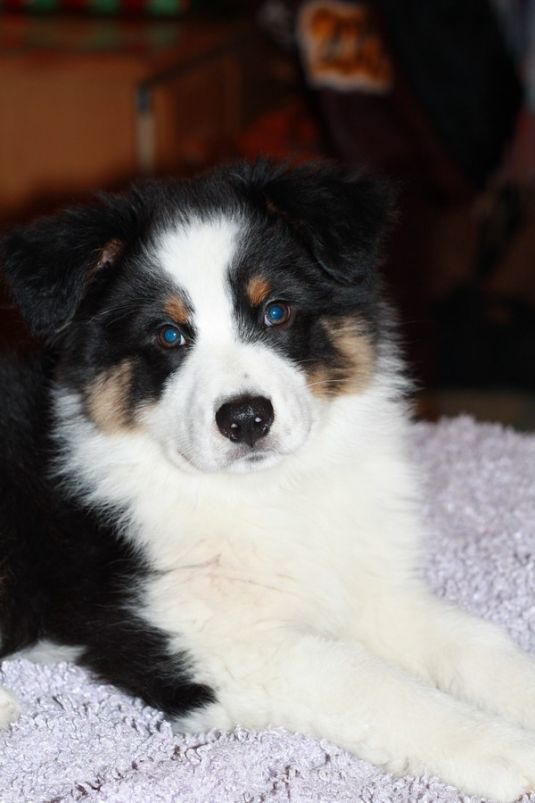 Cute Australian Shepherd Puppies - Puppy Pictures