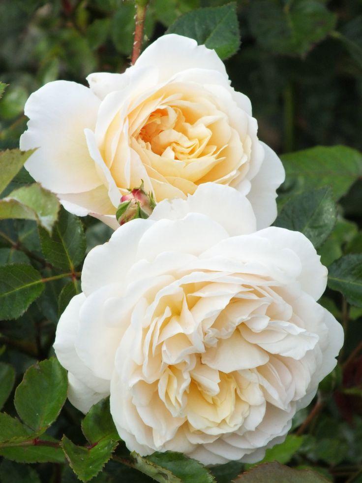 Garden Planning, David Austin Roses, English Roses, White Roses, Dream  Garden, Garden Roses, Spring Flowers, Beautiful Roses, Garden Ideas