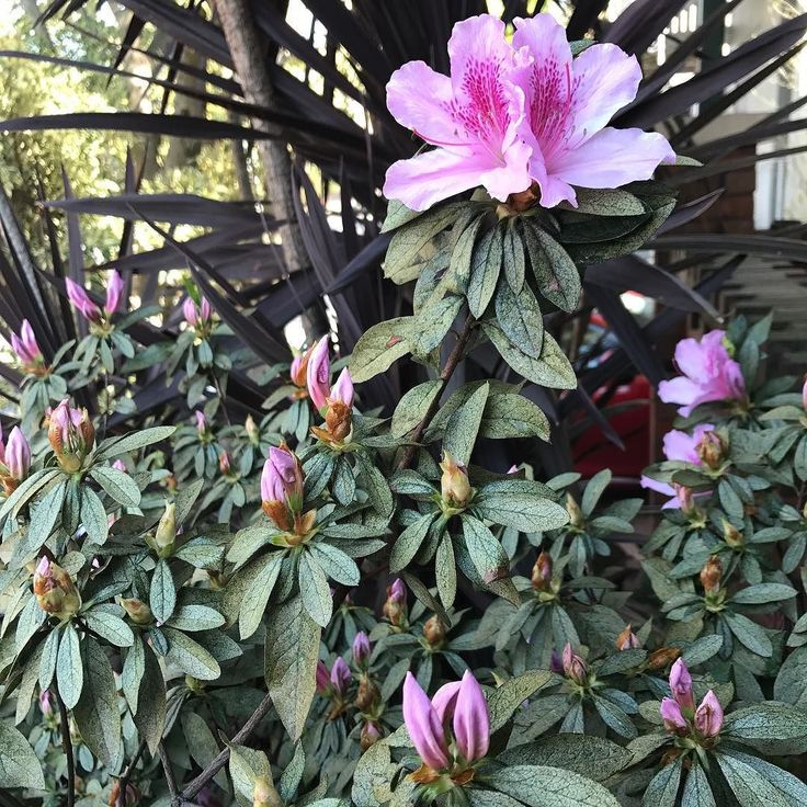The beginnings of #spring #azaleas