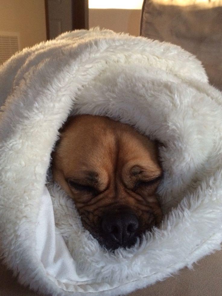 Snug As A Bug In A Rug A Puggle Amp A Pug Cross Jack
