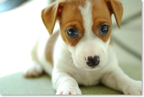 jack russell terrier!