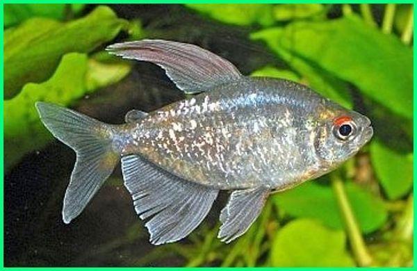 Cara Merawat Ikan Hias Diamond Tetra Dunia Fauna Hewan Binatang Tumbuhan Binatang Hewan Ikan