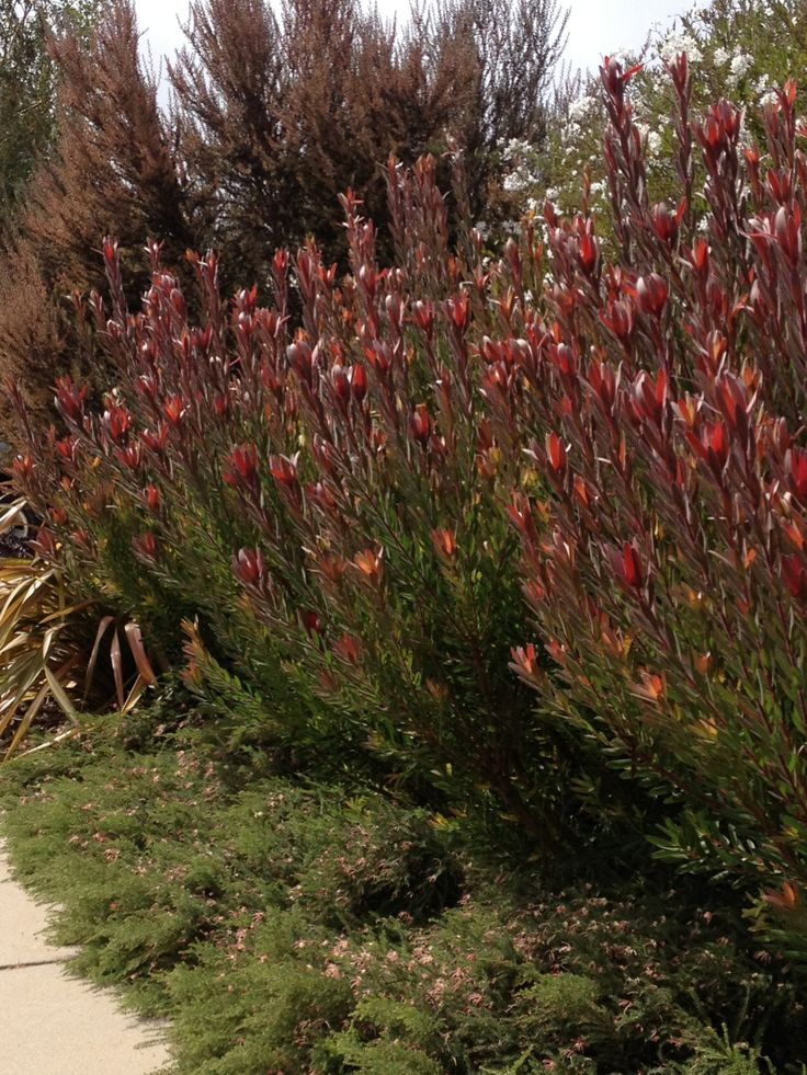 Leucadendron 'Safari Sunset' grows to 2.5h x 2w . some colour for your garden and brings out the rusty colour in the corten steel