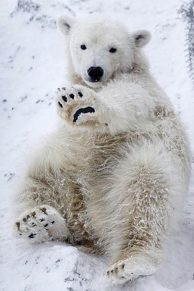 kari-shma:  Aurora, a ten-month-old female polar bear, lies in the snow at the Royev Ruchey Zoo in Russia's Siberian city of Krasnoyarsk. Aurora is one of two female wild polar bear cubs which were found in Russia's Taimyr Peninsula on the coast of the Arctic Ocean in early May and were later housed in the zoo in Krasnoyarsk.