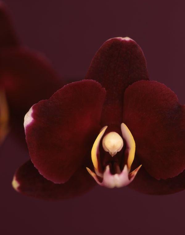 Burgundy orchid flower