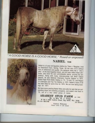 NABIEL+/ #72106 (*Sakr+++ x *Magidaa, by Alaa El Din) 1971-1995 grey stallion bred by Gleannloch Farms; sired 725 registered purebreds