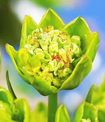 """Tulp 'La Bizarre' heeft bijzonder """"groene"""" bloemen. #bloembollen #tulpen"""