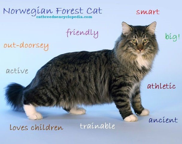 Norwegian Forest cat descriptive words