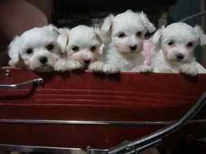 2male Maltese puppies -ready for their new home