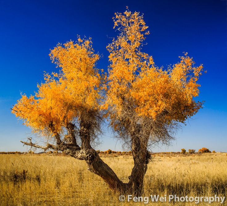 https://flic.kr/p/dtXCs8 | Golden Beauty | 新疆-塔克拉玛干沙漠-金色胡杨  A beautiful diversifolious poplar tree, surviving in the arid Taklamakan desert. Shot at southern Xinjiang province of China, during the season of fall.  © All rights reserved. You may not use this photo in website, blog or any other media without my explicit permission.