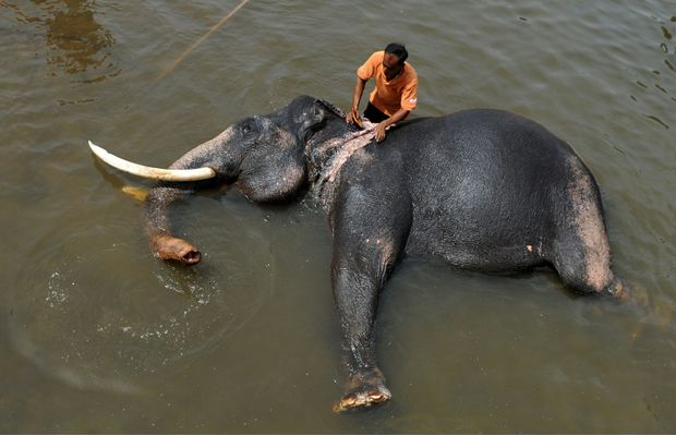 Pinnawala Elephant Orphanage is an orphanage, nursery and captive breeding ground for wild Asian elephants located at Pinnawala village, 13 km northwest of Kegalle town in Sabaragamuwa Province of Sri Lanka. Check Out More http://goo.gl/fb/5ELZvC Pinnawala Elephant Orphanage Sri Lanka #animals #asia #elephants #places #srilanka