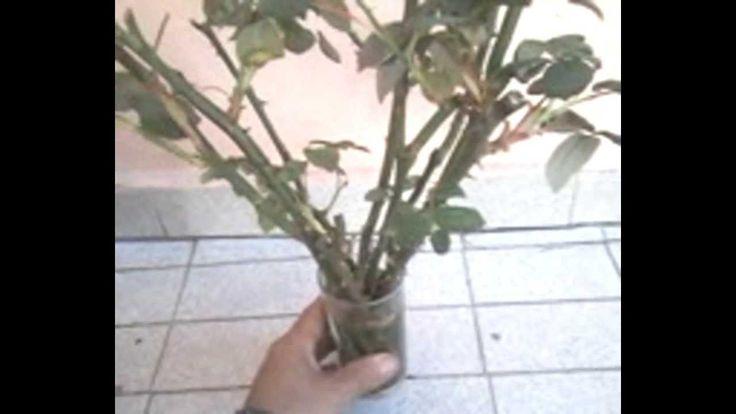 Como fazer mudas de rosas para plantar na terra - How do seedlings to pl...