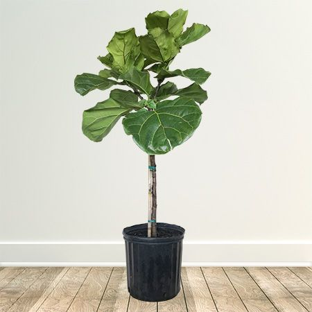 Fiddle-Leaf Fig Tree for Sale   Fast-Growing-Trees.com