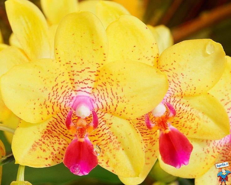 Orchidee - La Serra - Vedano al Lambro - Monza e Brianza - Lissone