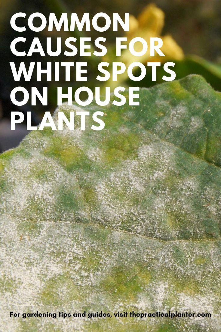 Common Causes For White Spots On Indoor Plants Plus The Solution Indoor Plants Indoor Gardening Supplies Garden Renovation Ideas