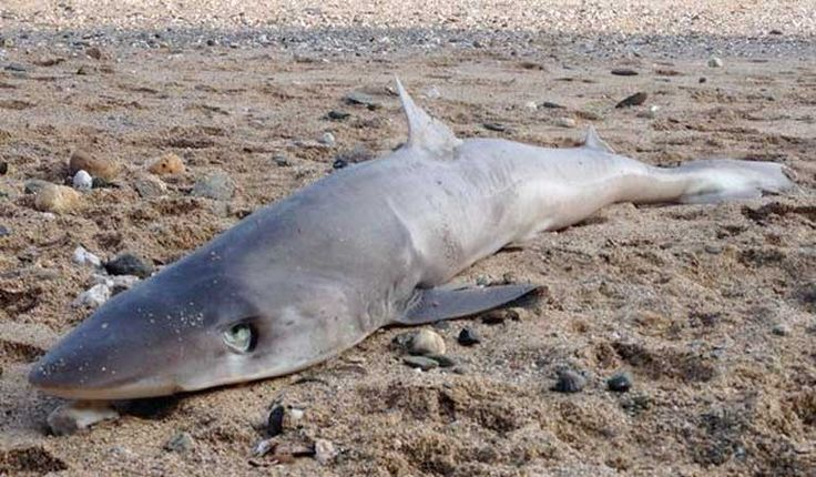 19th March 2015, a rare Tope shark was been found washed up on a Newquay beach.