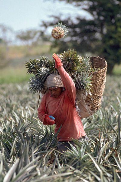 la cosecha de piñas.