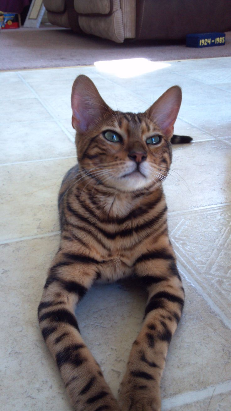 261 best Bengal cats images on Pinterest