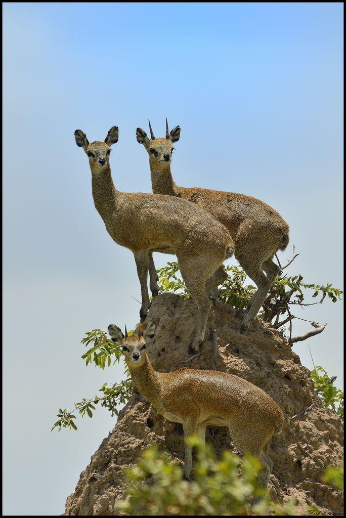 Klipspringer: the Adorable 'Rabbit' Antelope of Africa.  One of the tiniest hooved animals.