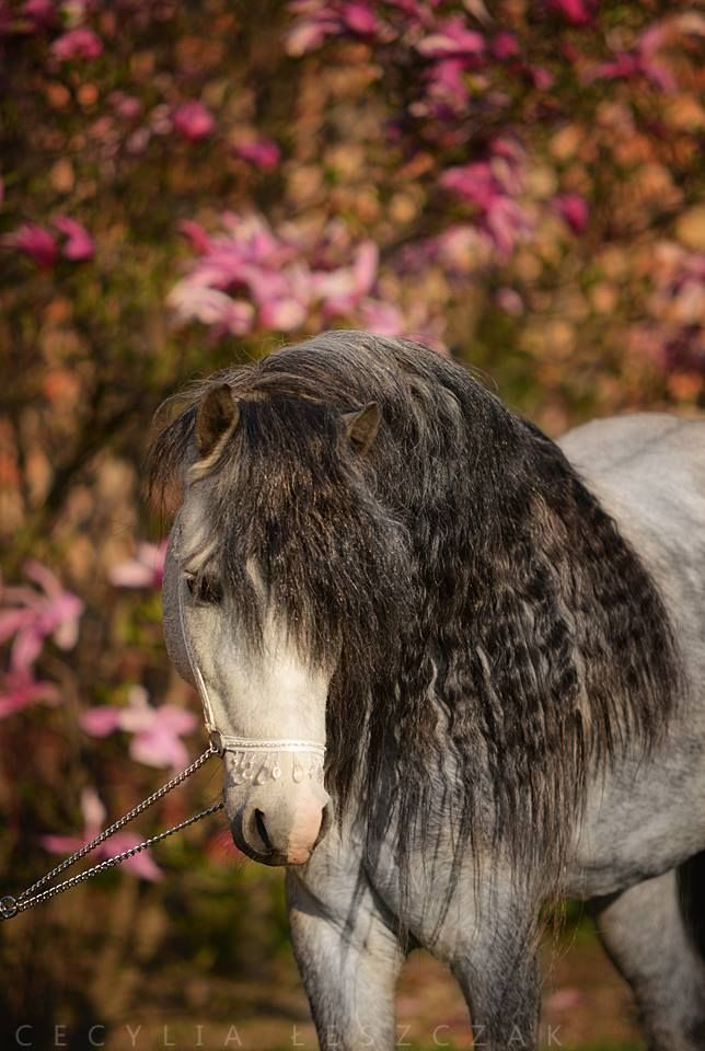 1043 best Welsh Cob Welsh Pony images on Pinterest Beautiful - best of welsh pony coloring pages