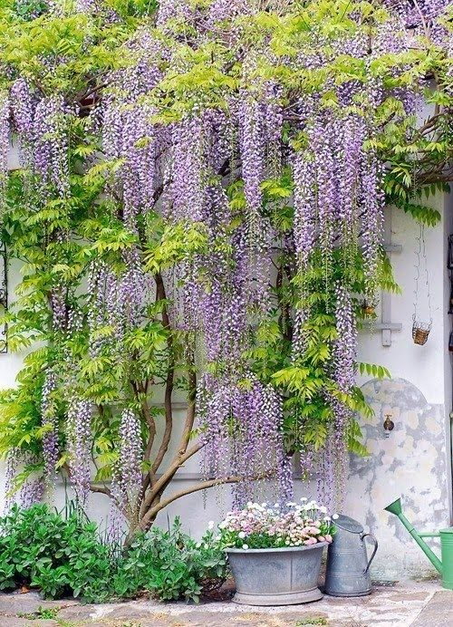 Wisteria is my favorite climbing vine.                                                                                                                                                      More