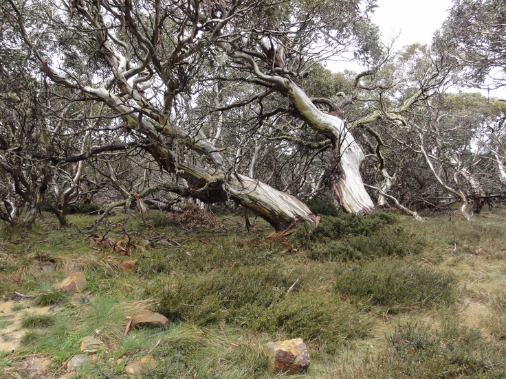 Snow Gums - The Bluff - Victorian High Country Australia by Ian Fletcher
