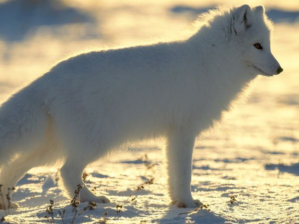 The lush white coat of the arctic fox provides both warmth and camouflage in winter.  Photograph by Norbert Rosing