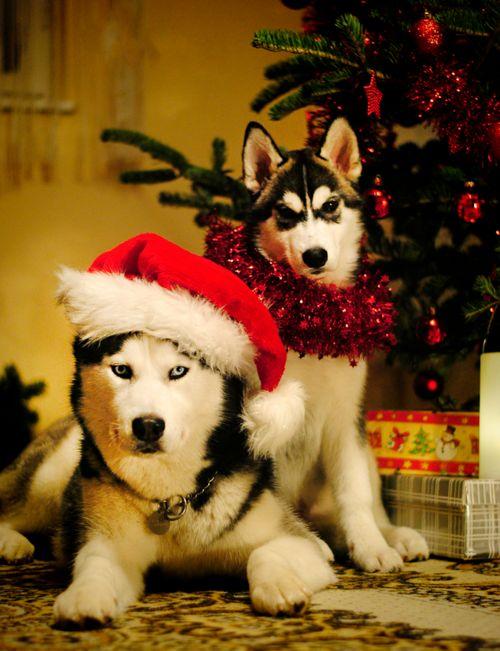 Christmas with Huskies!