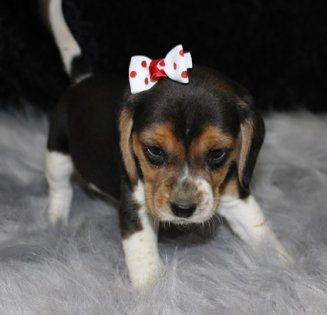 Bella Is A Female Beagle Puppy For Sale At Puppyspot Call Us