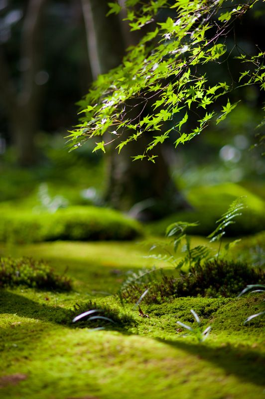 Moss garden in Kyoto, Japan
