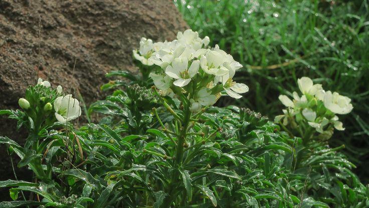 Erysimum concinnum—headland wallflower. Regional Parks Botanic Garden #BloomingNow #CaliforniaNativePlants