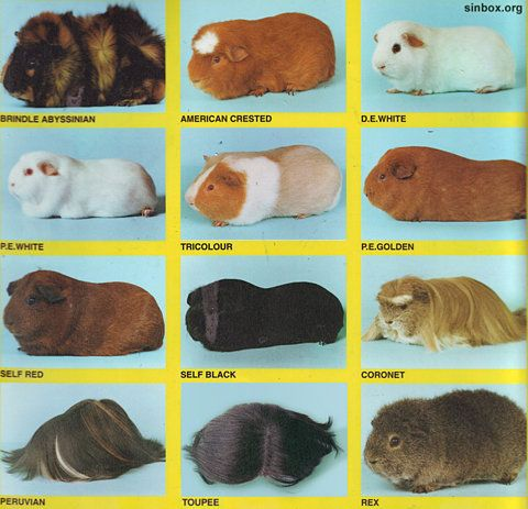 Know your guinea pigs