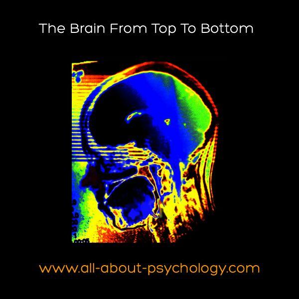 brain top bottom disproportionate stool