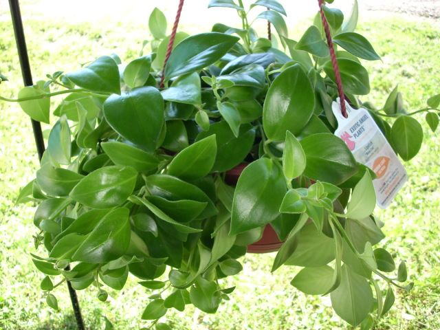 e79d8a430b2662a861c094e26cc8db58--lipstick-plant-hoya-plants Variegated Potted Plant House on potted plant succulent, potted plant blue, potted plant beautiful, potted plant small, potted plant color, potted plant flower, potted plant long,