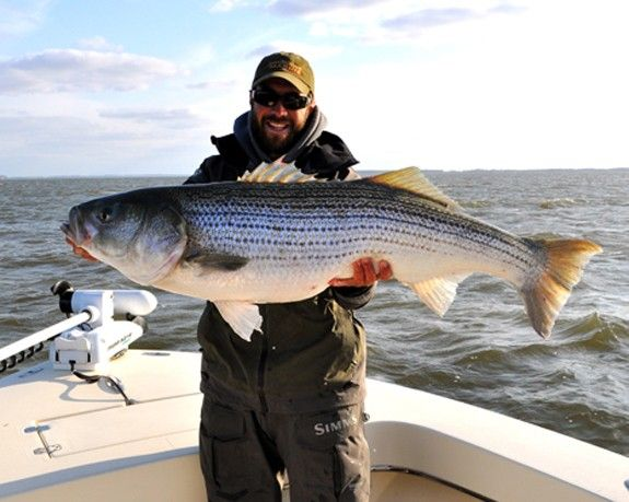 17 best images about fly fishing for striped bass on for Striper fishing chesapeake bay