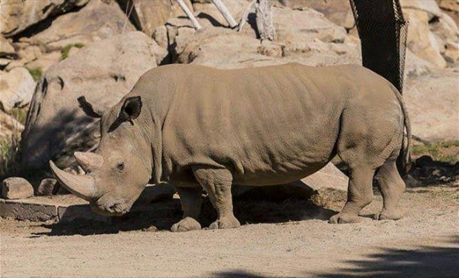 Thisisbignews.gr: Μόλις πέντε βόρειοι λευκοί ρινόκεροι απομένουν στο...