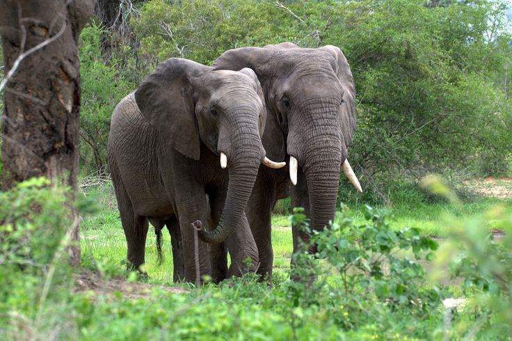 African Forest Elephant   African Forest Elephant - Pictures, Wallpapers, Pics, Photos, Images ...