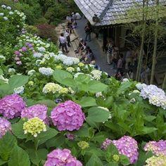 長谷寺のアジサイ - 鎌倉