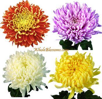 Mums Flowers Wallpaper HD Download For Desktop & Mobile