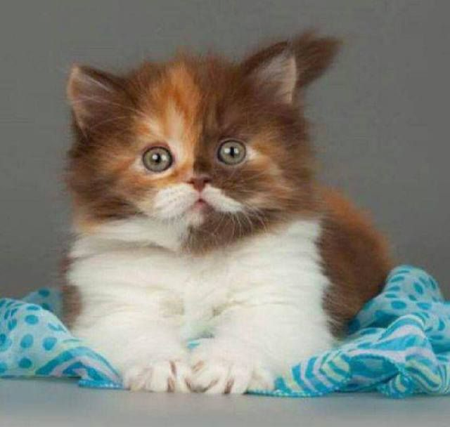 Best Cuby Chubby Adorable Dog - e79e96f66b276354c1c7f43bc8228255--cute-kittens-moustache  Perfect Image Reference_272640  .jpg