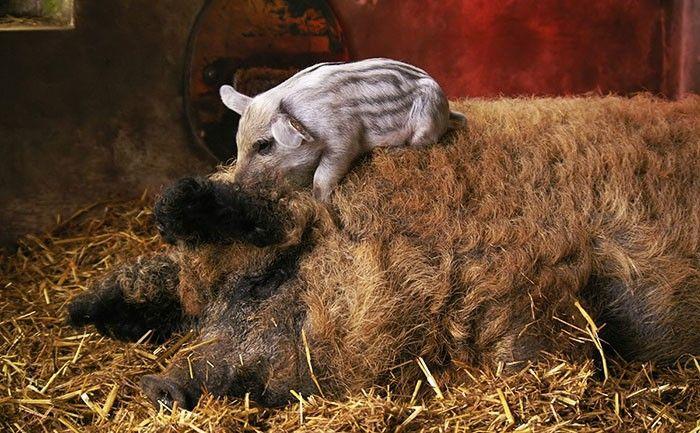 Meet the Mangalitsa Pig: A Rare Wooly Breed That Looks Like a Sheep and Acts Like a Dog