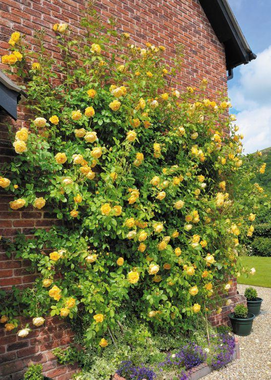Trandafirul Graham Thomas de la David Austin prin Gradina Bijoux