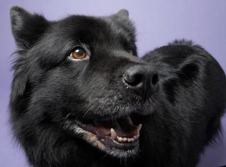 Moonshadow the Chow /  Lab Mix
