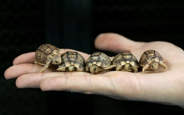 A worker from Romes Biopark zoo holds Testudo Kleinmanni hatchlings, an endangered species also known as Egyptian tortoises, in Rome May 22, 2007.: Boxes Turtles, Egyptian Tortoi, Tiny Turtles, Baby Tortoises, I'M, Zoos, Sea Turtles, Adorable Animal, Baby Turtleso