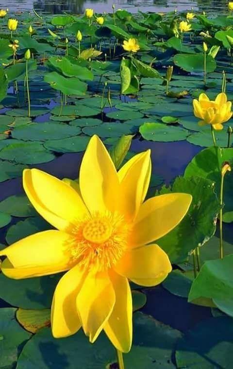 Fiori Gialli Acquatici.Pin Di Antonella Su Fiori Sull Acqua Petali Di Lotus