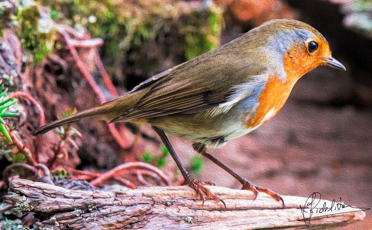 Roby - Roby (robin bird)